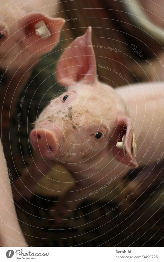 Piglet looks right at you. Pig head Pig's ear Animal portrait Baby animal Pink Swine Pig's snout pigsty Love of animals Animal face Livestock breeding