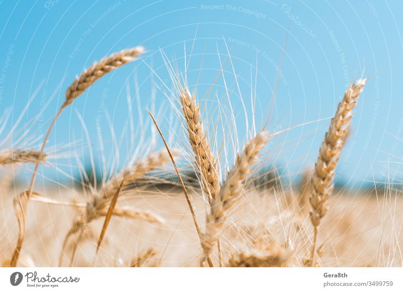 spikelets of wheat on a field on a farm against the backdrop of a clear blue sky agrarian agricultural agriculture agronomy background clean climate color crop