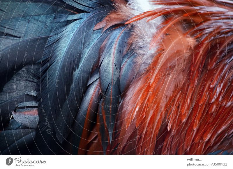 Colourful feathers from the cock Rooster variegated Cock springs Plumed Esthetic Pet rise from the hut Feather headdress feathered