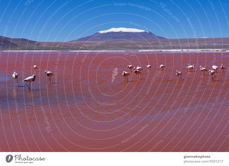 Flamingos in Laguna Colorada, Red lake, Andes Mountain Range, Bolivia Adventure Altiplano Altiplano Lakes Beautiful Beauty Of Nature Blue Blue Horizon Blue Sky