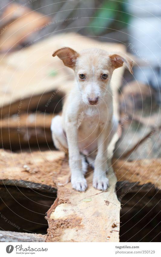 DOBBY Dog Puppy dobby house-elf eleven Puppydog eyes Seychelles La Digue Wood Board Joist Wood strip Wooden bench Wood shavings Parquet floor Plank Animal