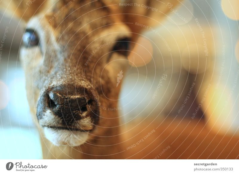 shy reh. Animal Wild animal Animal face Roe deer 1 Looking Glittering Near Cute Brown Serene Calm Timidity Muzzle Wet Nose Doe eyes Colour photo Interior shot