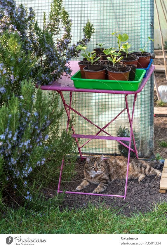 The rosemary flowers, the cat dozes under the pink garden table on which the pots with the young zucchini plants are placed Spring Beautiful weather