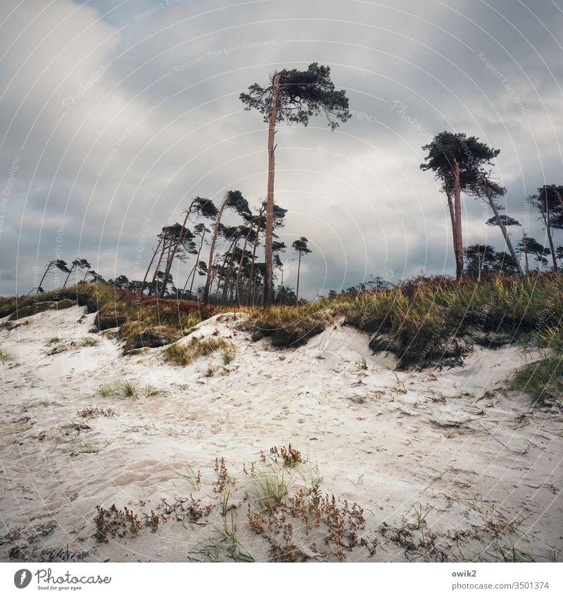 Silent Witnesses Darss Western Beach trees Wind cripple Sand Coast Baltic Sea steep coast Sky Clouds Large Above dissociated Landscape Nature Tree Environment