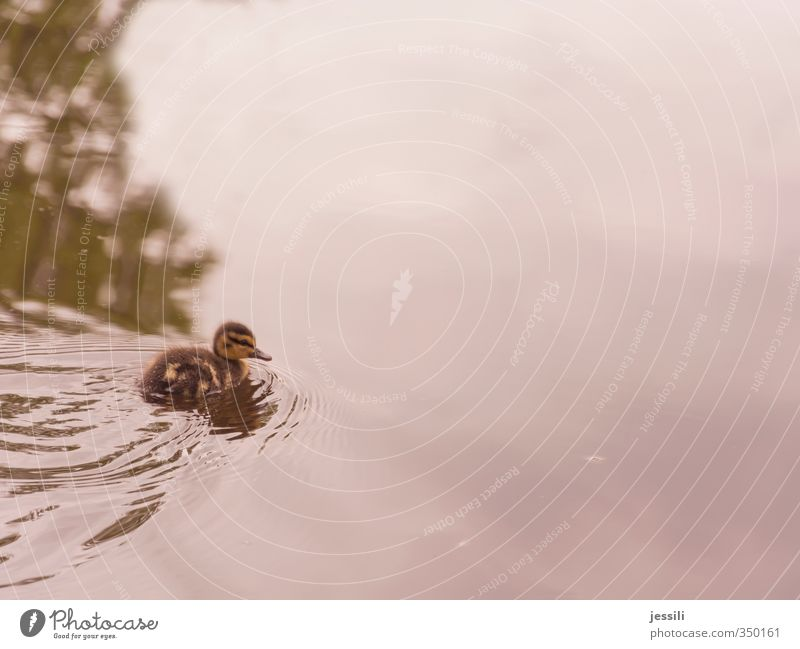 free float 1 Animal Water Adventure Discover Nature Curiosity Duck come of age chicken wild Mallard Colour photo Exterior shot Copy Space right