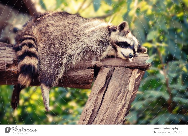 sluggard Relaxation Calm Nature Summer Animal Wild animal Zoo Raccoon 1 Lie Sleep Dream Break Siesta Dangle Legs Goof off Colour photo Exterior shot