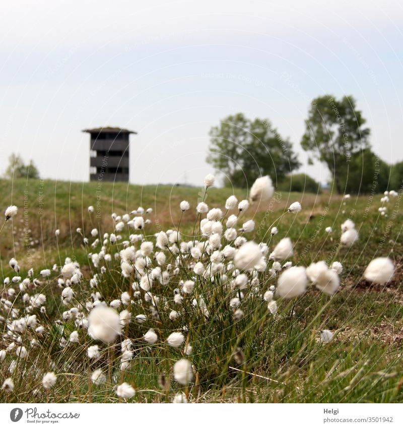 cotton grass is blooming in the bog, in the background a lookout tower and trees in front of a blue-grey sky Bog Cotton grass Plant Nature Grass Wild plant