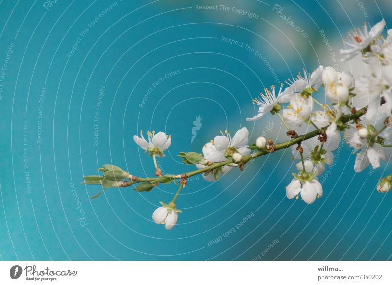 Cherry blossom branch against turquoise background Spring Blossom Twig Apple blossom Plum blossom Blossoming Blue Turquoise White Delicate Neutral Background