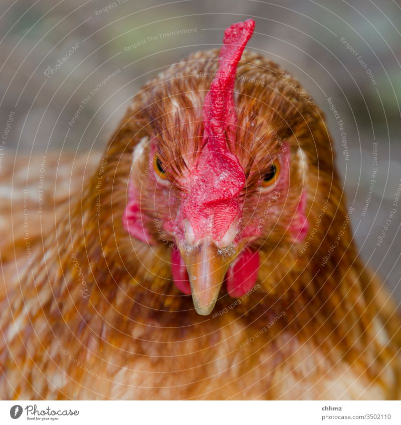Angle chicken hen Colour photo Barn fowl birds Exterior shot Pet Animal portrait Feather Poultry Beak Agriculture Comb Free-range rearing Farm Brown