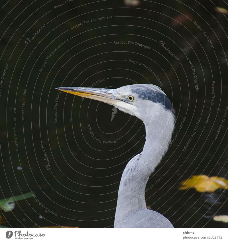 herons Grey heron birds Exterior shot Nature Wild animal Animal portrait Copy Space top Deserted feathers Pond pond lurking Water cautious Landscape
