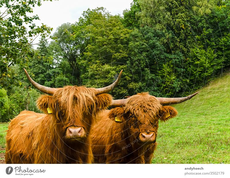 Two Scottish highland cattle on a green meadow agriculture angus animal barn beef bovine breed britain brown bull calf close closeup coat country cow cows cub