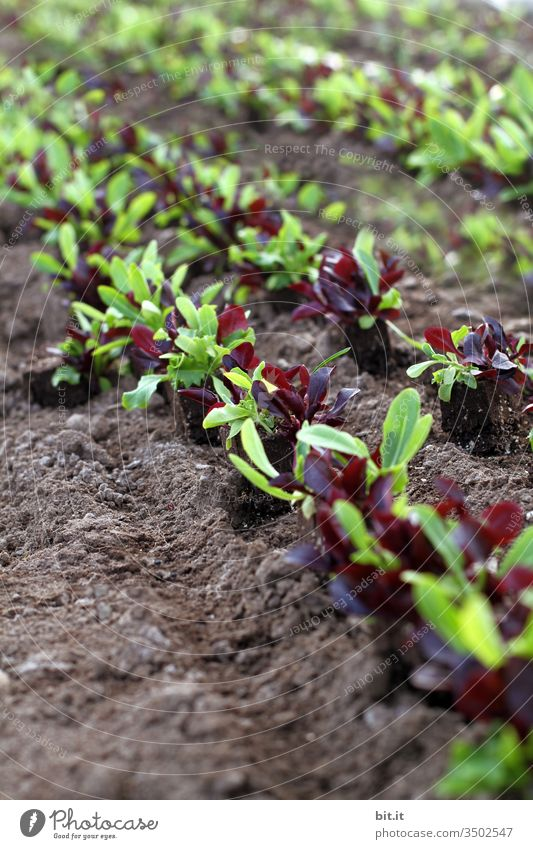 Shoots, seedlings of lettuce in the field. Lettuce Field acre Nature Plant Agriculture Green Nutrition Agricultural crop Food Vegetarian diet