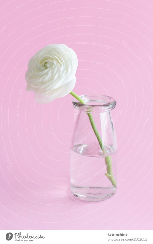 Spring composition with a white flower in a glass jar  on a light pink background ranunculus rose water romantic pastel soft color close up concept creative day