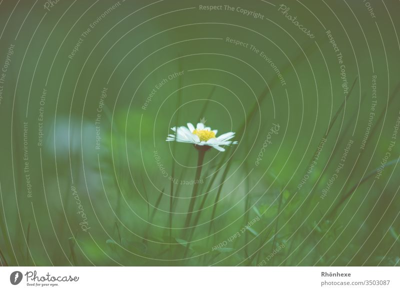 a lone daisy Daisy Flower Grass Grass green Individual Copy Space top Spring flower Plant Meadow Meadow flower Exterior shot Macro (Extreme close-up) Beautiful