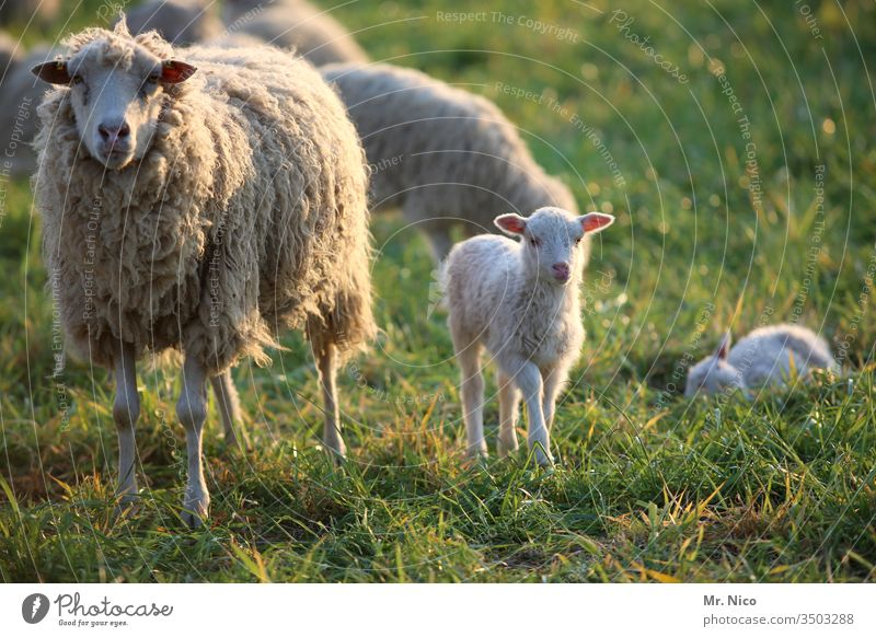 Sheep and little lamb Lamb Flock Farm animal Animal Group of animals Meadow Landscape Lamb's wool Pelt Animal portrait Willow tree Agriculture Grass Wool Ranch