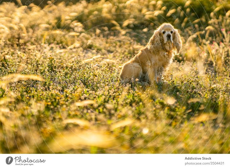 Cute puppy sitting in field in summer day dog wait meadow cocker spaniel golden pet countryside animal canine domestic purebred pedigree nature adorable sunny