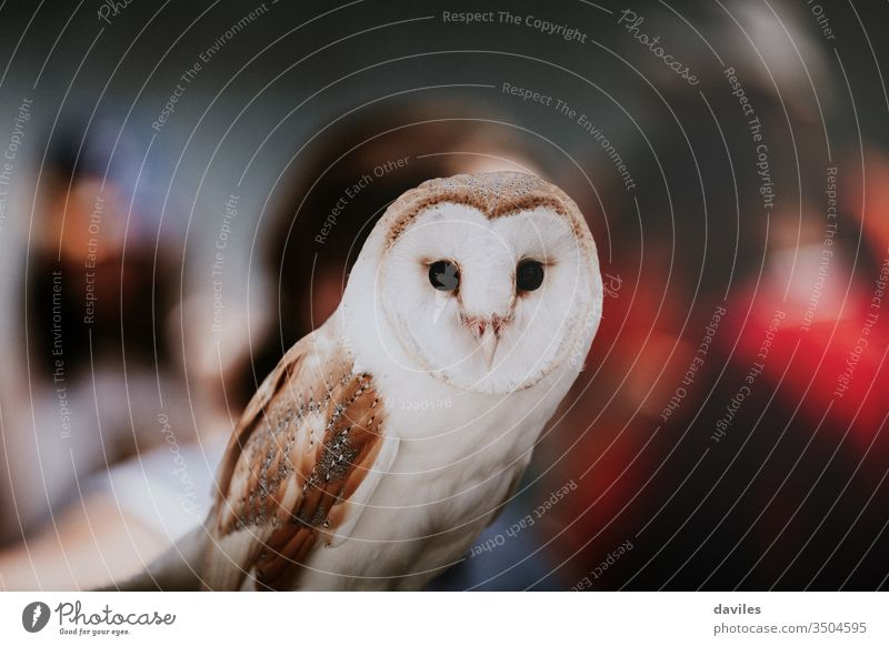 Owl portrait with people background during an exhibition. owl barn animal wild bird alba white tyto wildlife predator view looking front watching feather beak
