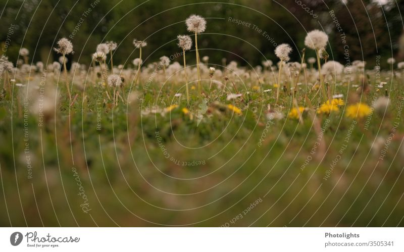Dandelion - Meadow with dandelions Garden Weed Grass Spring Blossom Nature Flower Summer Lawn Blossoming Yellow White Colour photo Exterior shot