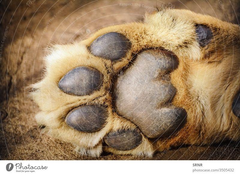 Paw of Lion animal big cat claw dewclaw digital pad forefoot foreleg forelimb forepaw fur hairless epidermis keratinised epidermis lion mammal metacarpal pad