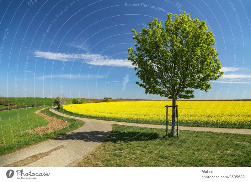 Spring landscape. Cultivated colorful raps field in Germany agriculture background bio blossom country cultivated eco energy farm farmland floral flower german