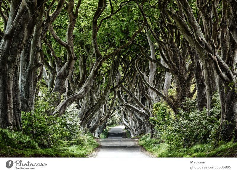 Dark Hedges Buche Buchen Buchenwald allee Baum Bäume Nord Irland Northern Ireland Ballymoney atmosphäre irisch irland landschaft niemand textfreiraum baumallee