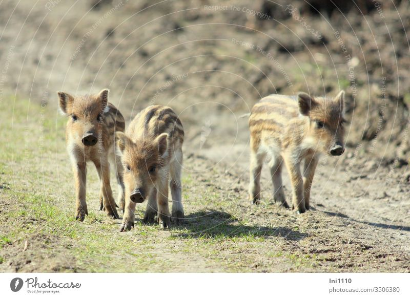 Dreiklang   three freshmen on the forest path Wild boars Animal boy inquisitorial shy Deserted nature park Hiking striped coat Cute Brothers and sisters