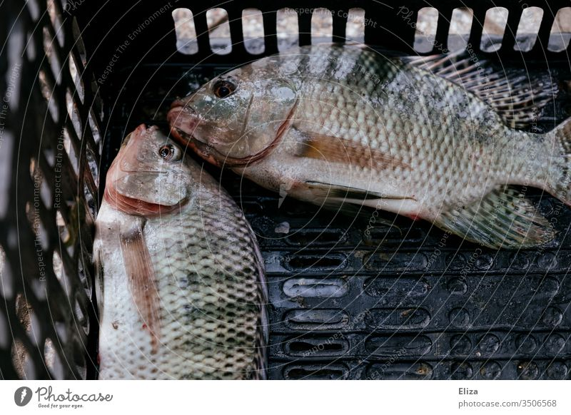 Two caught dead fish in a box Captured Fishing (Angle) fished Leisure and hobbies Catch two Exterior shot Fishery Nutrition Day Food flowed Flake Crate Couple