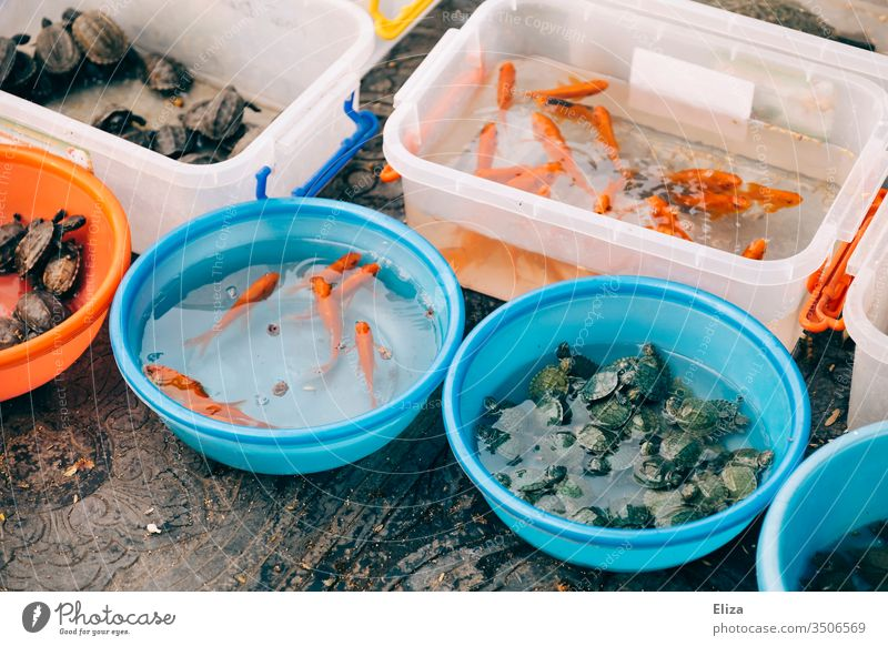 Buckets and bowls filled with water and live animals, fish, turtles Turtles sale Sell Vietnam Roadside variegated scatterbrained Water living Pet shop