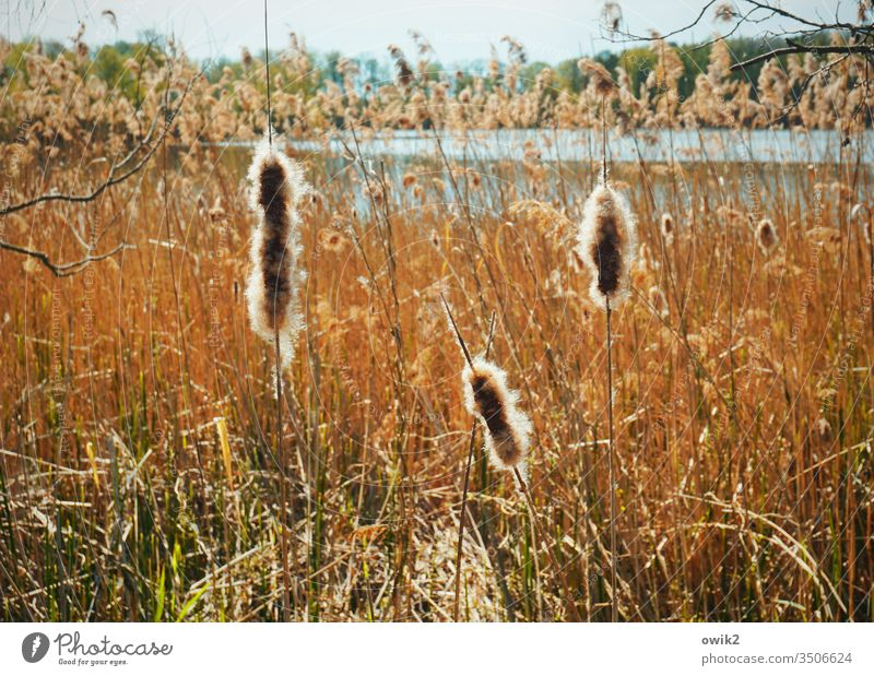 Spindles Lake Lakeside Exterior shot Colour photo Water Nature Deserted Day Landscape Sky Beautiful weather Natural Central perspective Idyll plants Reeds reed