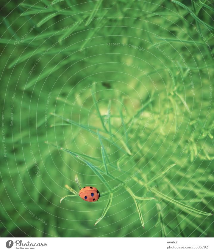 Camouflage is overrated Ladybird Plant shrub Sit Rest Peaceful Lonely contented Red luminescent Point attract attention Crawl Kintrast Green Bright Colours
