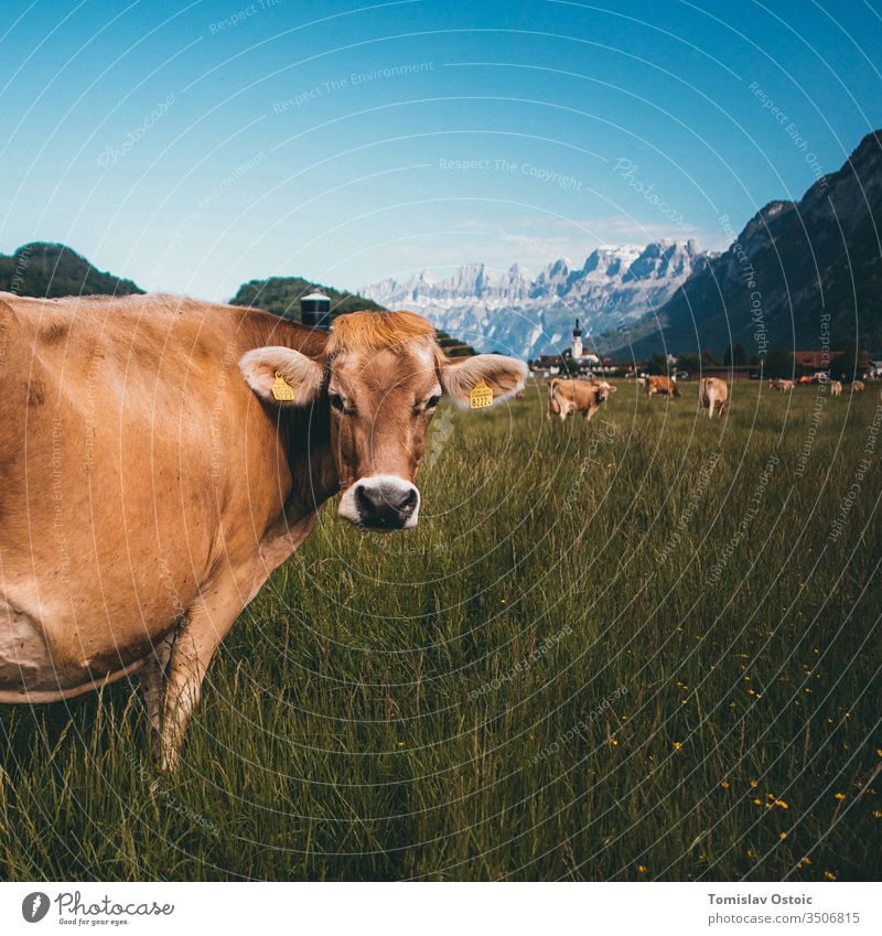 Cow in the mountains of the Alps in Switzerland cow alp alpen swiss grass outdoor sunny agriculture beautifull Landscape Dairy Dairy Products Dairy cow