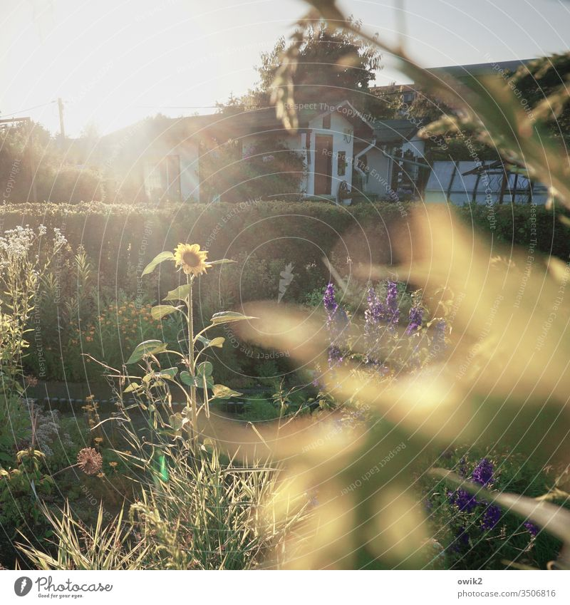 Seems so Sun Sunflower sunshine Illuminate rays out Exterior shot Garden Garden allotments Garden plot Arbour Hedge flowers Blur Nature Plant Sky Deserted