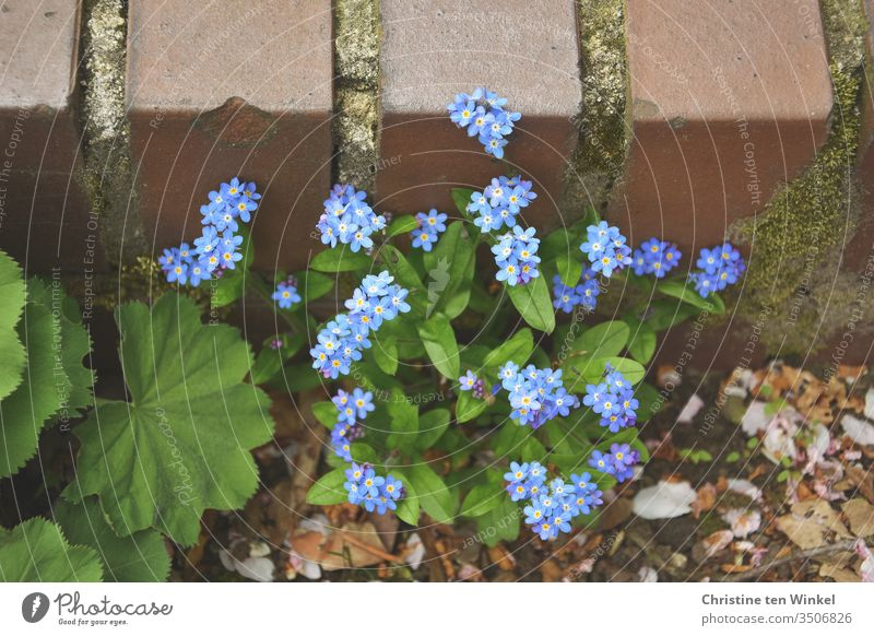 Forget-me-not-plant / Myosotis and leaves of lady's mantle / Alchemilla in front of a low older wall Alchemilla leaves alchemilla Wall (barrier) Stone wall