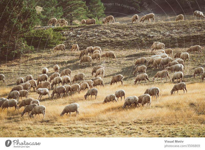 Flock of sheeps grazing in the field on a summer afternoon vertebrate mammals life flock nature natural fauna body animals wild pastureland wildlife eyes