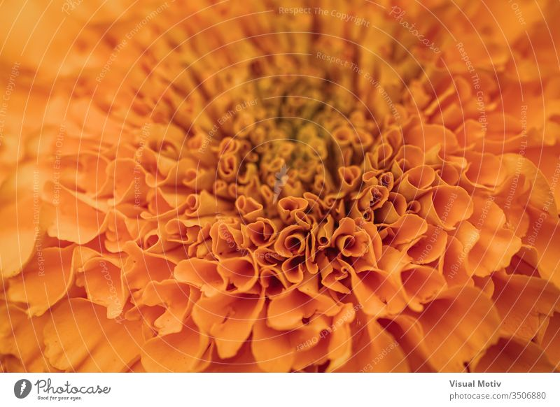 Orange petals of Tagetes erecta commonly known as African marigold flower bloom blossom botanic botanical botany flora floral flowery garden organic natural