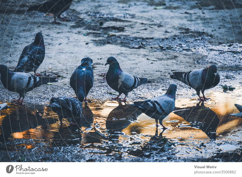 Pigeons drinking water from a puddle in an urban park at the afternoon pigeons birds outdoor animals exterior nature natural garden fauna wildlife ground
