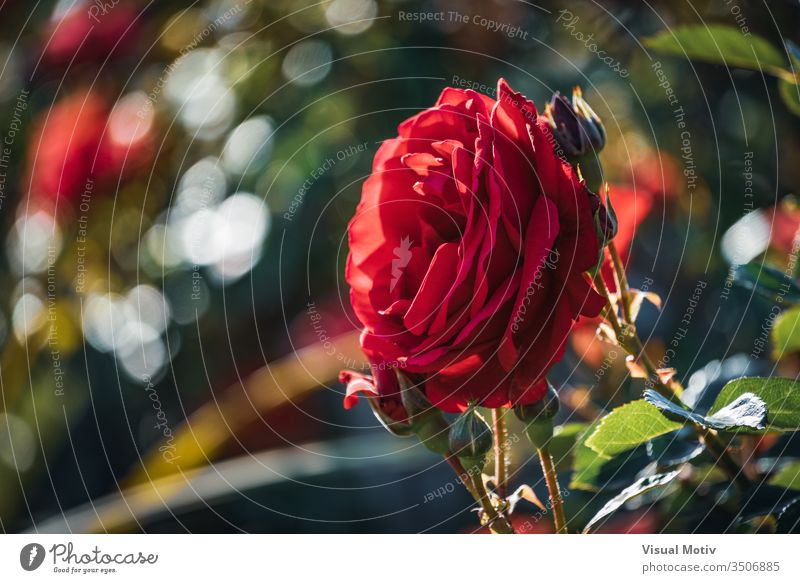 Red rose surrounded by buds in different stages of bloom color botanic botanical botany flora floral flowery outdoor exterior park garden petals nature natural