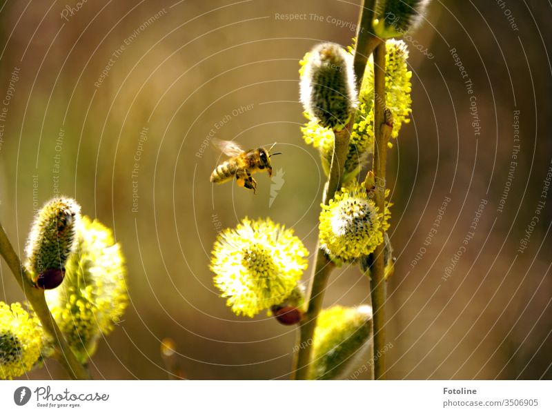 approach - or a small busy honeybine, which flies to flowering willow catkins to collect pollen Bee Honey bee Insect Animal Nature Exterior shot natural