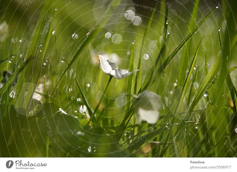 A meadow with grass and wood anemones, kissed by the sun very early in the morning and covered with thousands of dewdrops. Wood anemone Nature Plant
