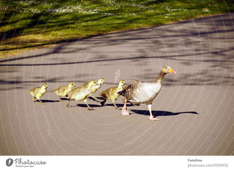 Goose march - or a family of geese crossing a footpath in a goose march Chick birds Animal Colour photo Exterior shot Nature Baby animal Day Deserted Small