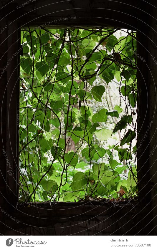 Vine leaf curtain on the broken window of an abandoned house reclaimed by nature. vine shadow leaves overgrown plant decay moody green black rectangle frame