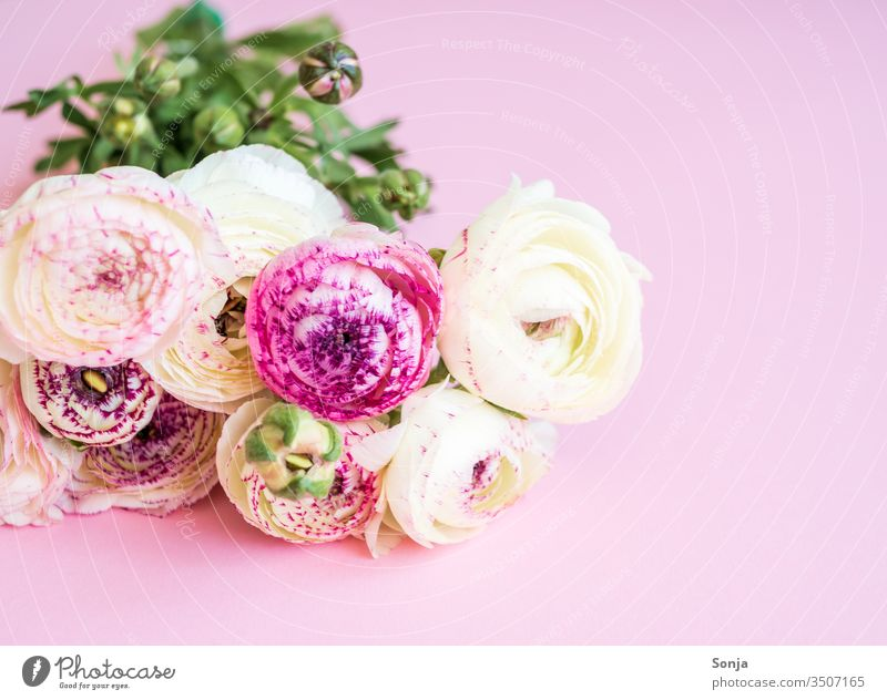White bouquet of ranunculus on a pink background Flag Buttercup federation Spring Pink Plant Blossom Mother's Day Gift Birthday pastel shades Nature Close-up