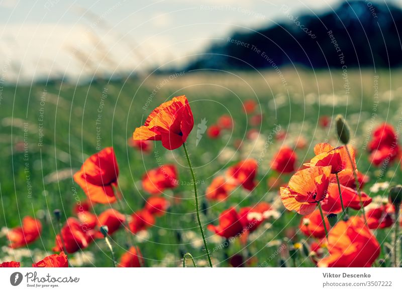 Daisies and poppies in the field flower background abstract floral pattern summer nature sun leaf red green meadow landscape plant sunlight daisy bright petal