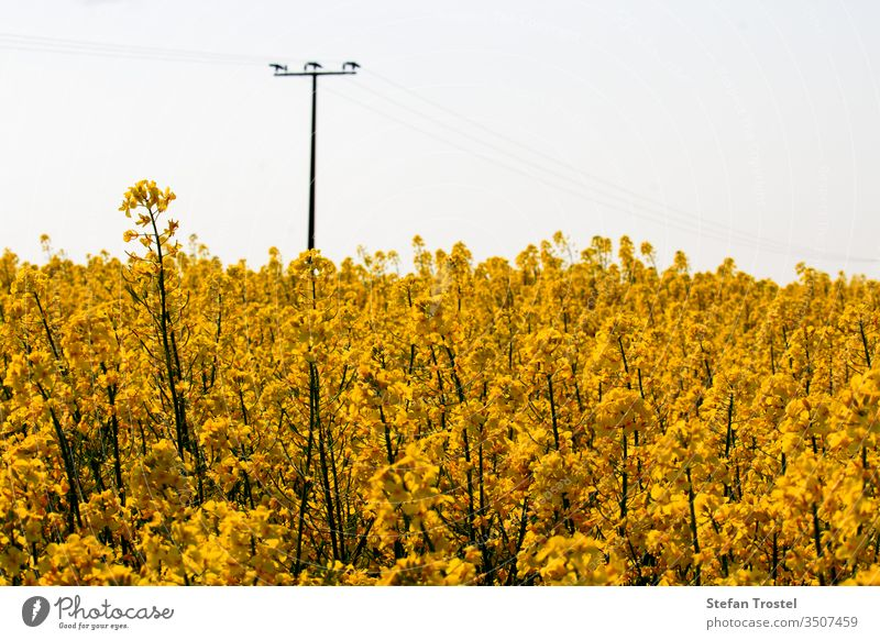 Rape blossom and first rape fruits on the stalk in a beautiful yellow rape field horizon fuel sunny natural bio nature oil diesel rapeseed economy agriculture