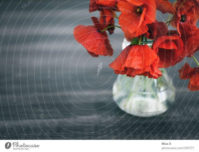 poppy Decoration Flower Blossom Faded To dry up Red Emotions Moody Sadness Grief Decline Transience Poppy Bouquet Slack Vase Colour photo Multicoloured