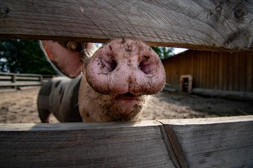 pig nose Swine Pigs Nose Trunk inquisitorial Fence Farm animal Pink Sow Dirty Agriculture Colour photo Animal Piglet Happy Mammal Animal portrait Nature Meat