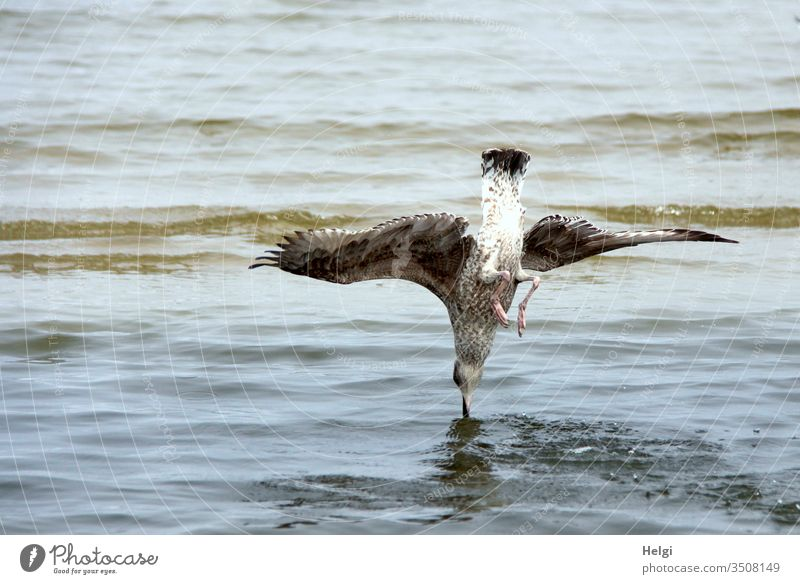 Swoop - Gull falls vertically into the water to catch a fish Seagull dive Foraging Ocean Baltic Sea Usedom Water Flying overthrow sb./sth. perpendicular birds