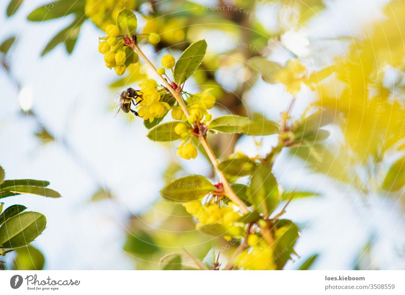 Detail of a bee on yellow blossoms of a bush with backlight flower insect nature pollen summer sun beautiful detail green macro spring blur color garden honey