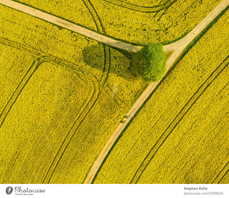 Top aerial view of flowering rapeseed field and a tree. Beautiful outdoor countryside scenery from drone view. Many blooming plants. Spring theme background.