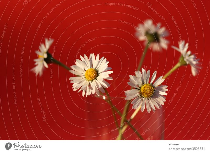 five daisies in a glass against a red background Daisy flowers Made to measure Blossom leave composite White Red Decoration Nature spring Summer Daisy Family